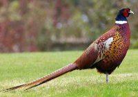 Бизнес идея по разведению фазанов